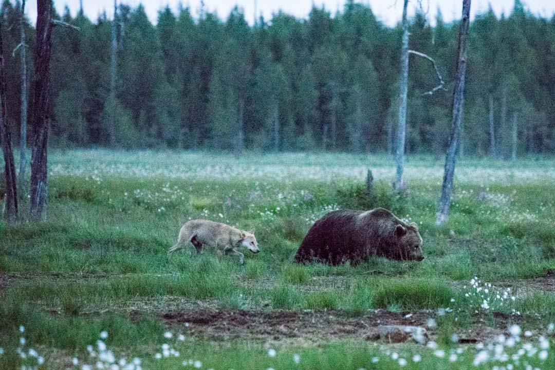 susi ja karhu kuvattuna piilokojusta