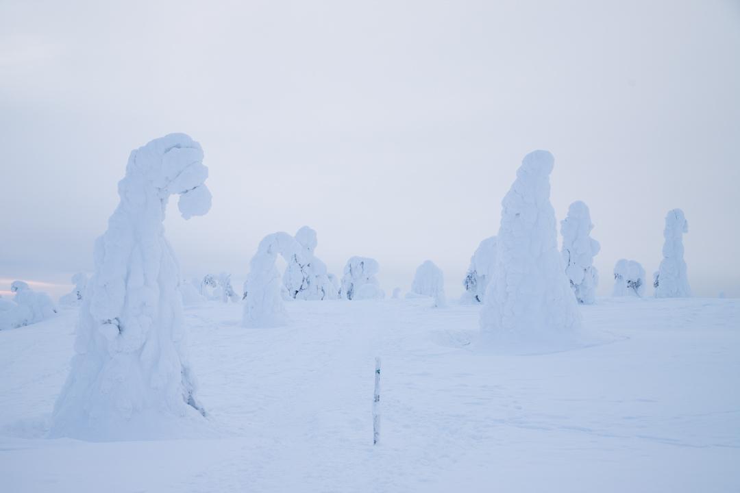 Riisitunturin kansallispuiston tykkylumiset puut talvella