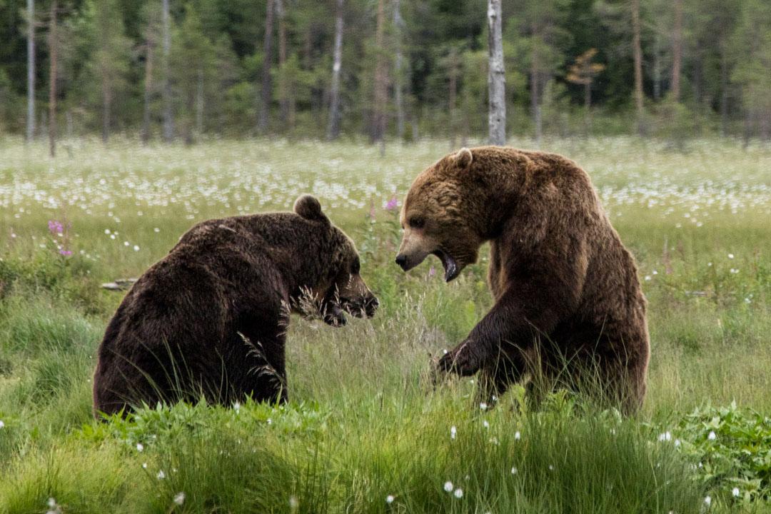 karhuja piilokojusta kuvattuna