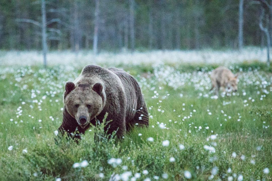 karhu ja susi piilokojusta kuvattuna