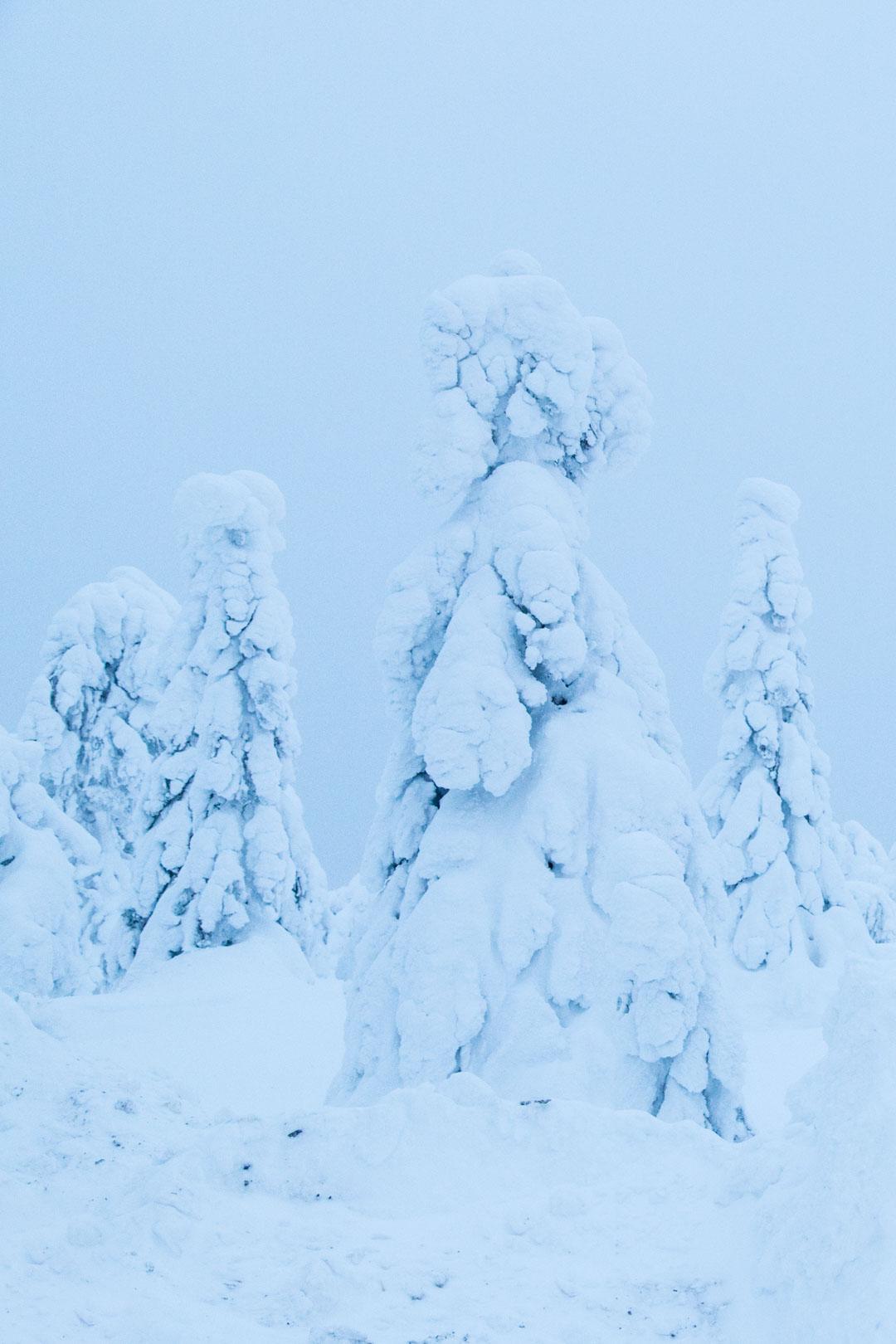 tykkylumipuita Iso-Syötteellä talvella