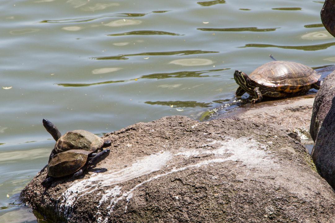 kilpikonnia Narassa Japanissa