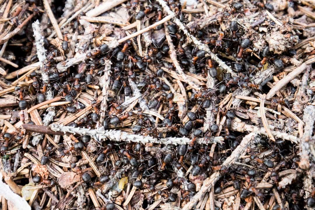 muurahaisia