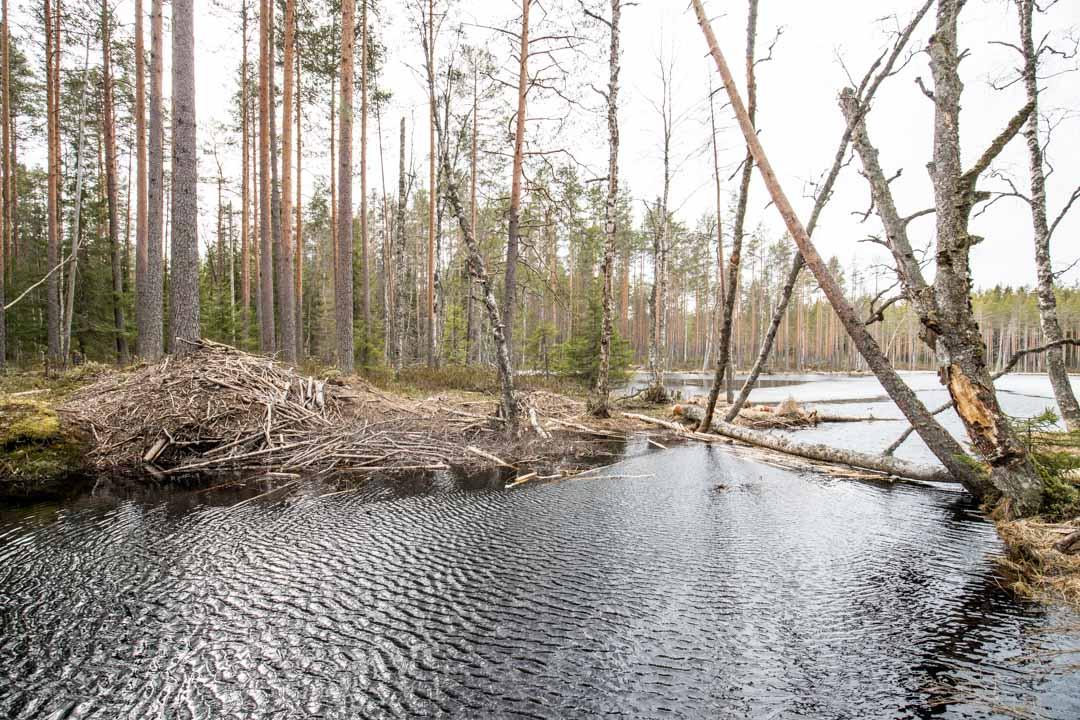 majavien pato Virkatien varrella Seitsemisen kansallispuistossa
