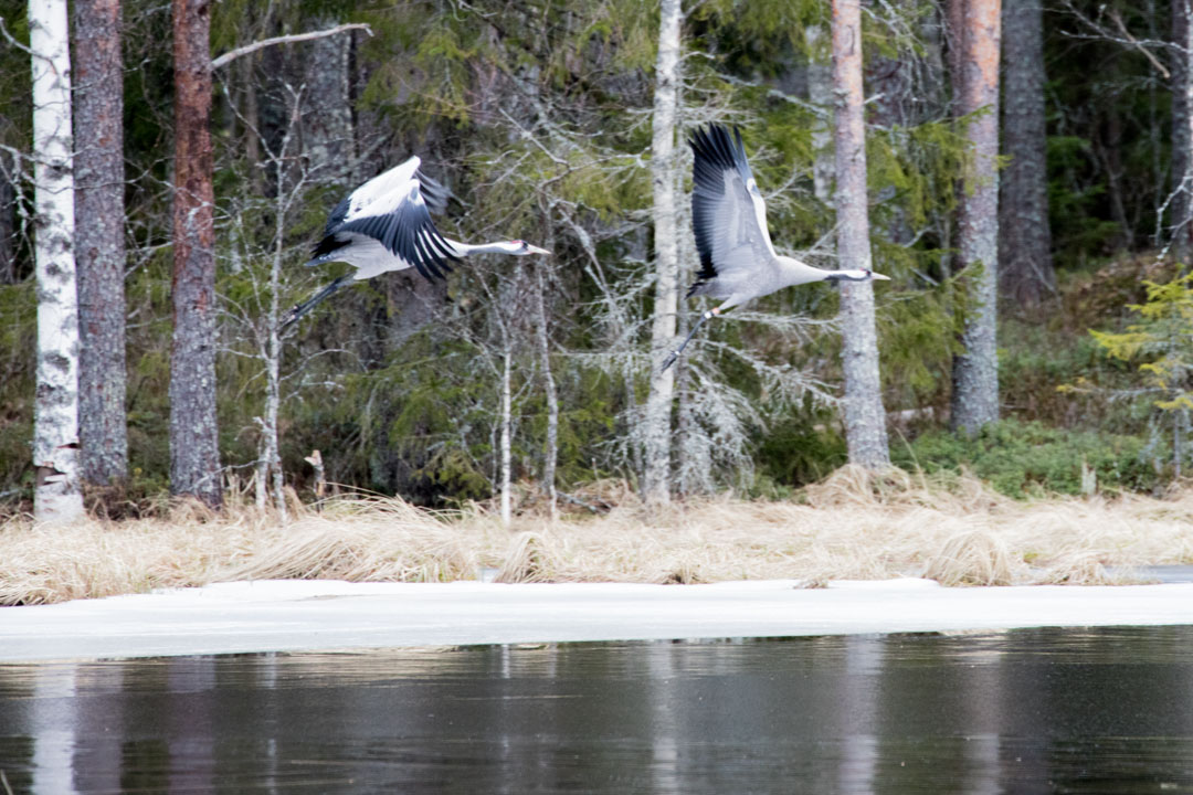 kurkipariskunta Virkatien varrella Seitsemisen kansallispuistossa