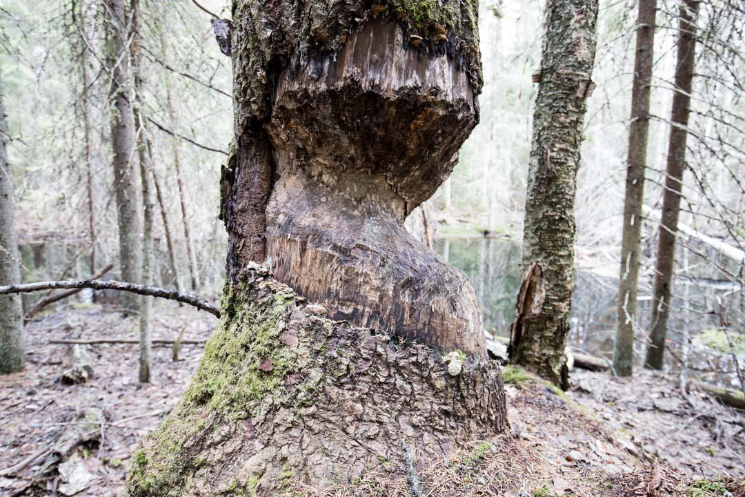 majavan järsimä puu Virkatien varrella Seitsemisen kansallispuistossa