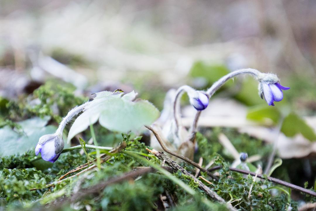 sinivuokkoja Sipoonkorven kansallispuistossa