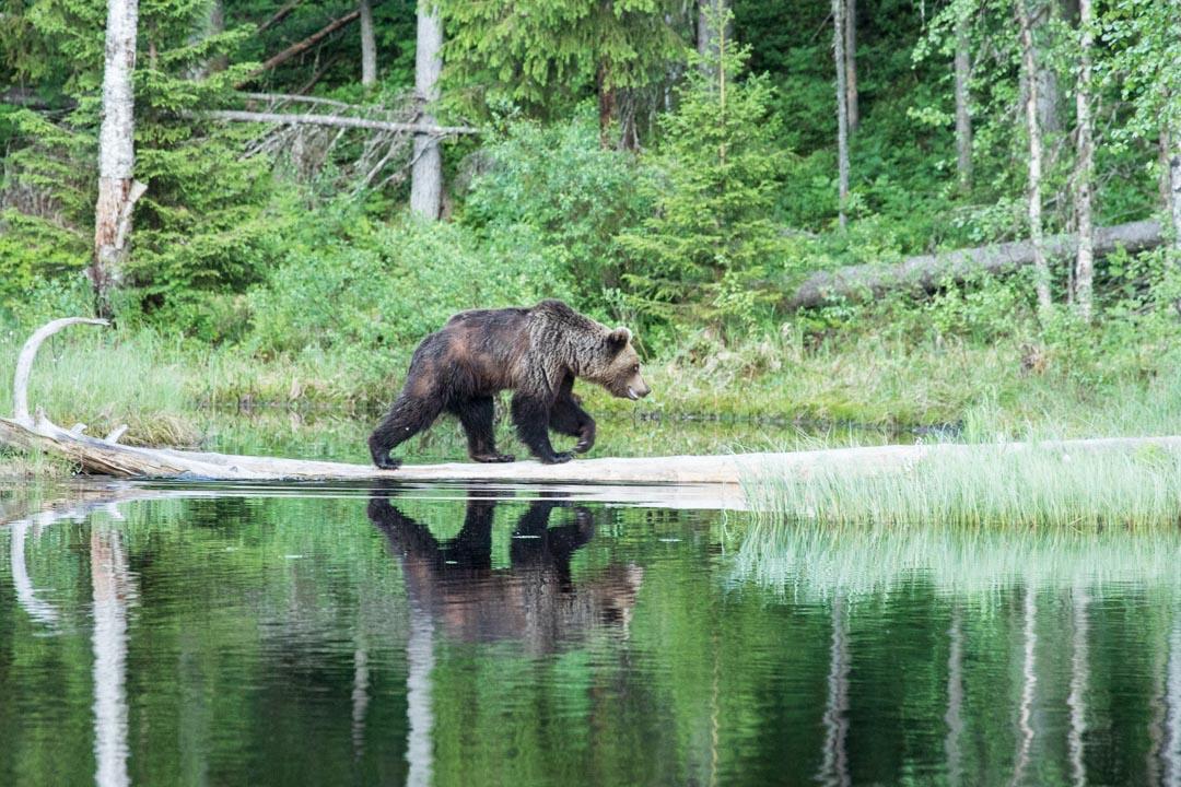 karhu ylittämässä lampea puunrunkoa pitkin kuvattuna Erä-Eeron piilokojusta