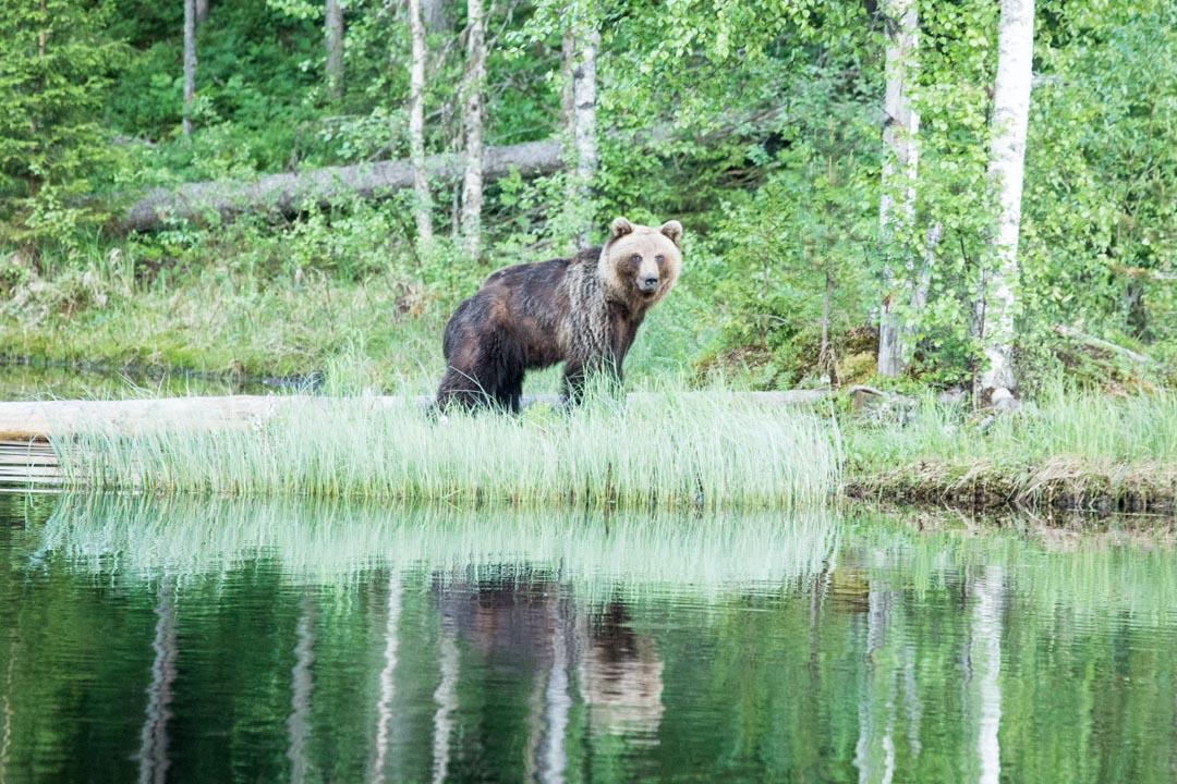 karhu kuvattuna Erä-Eeron piilokojusta Lieksassa