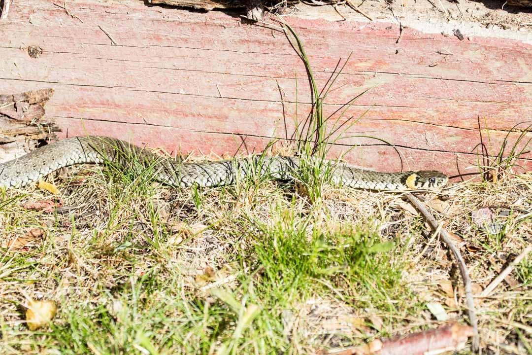 rantakäärme Örön saarella