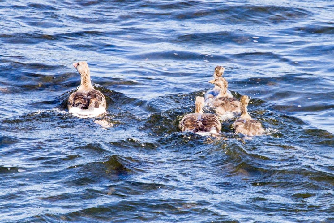 merihanhia Örön saarella