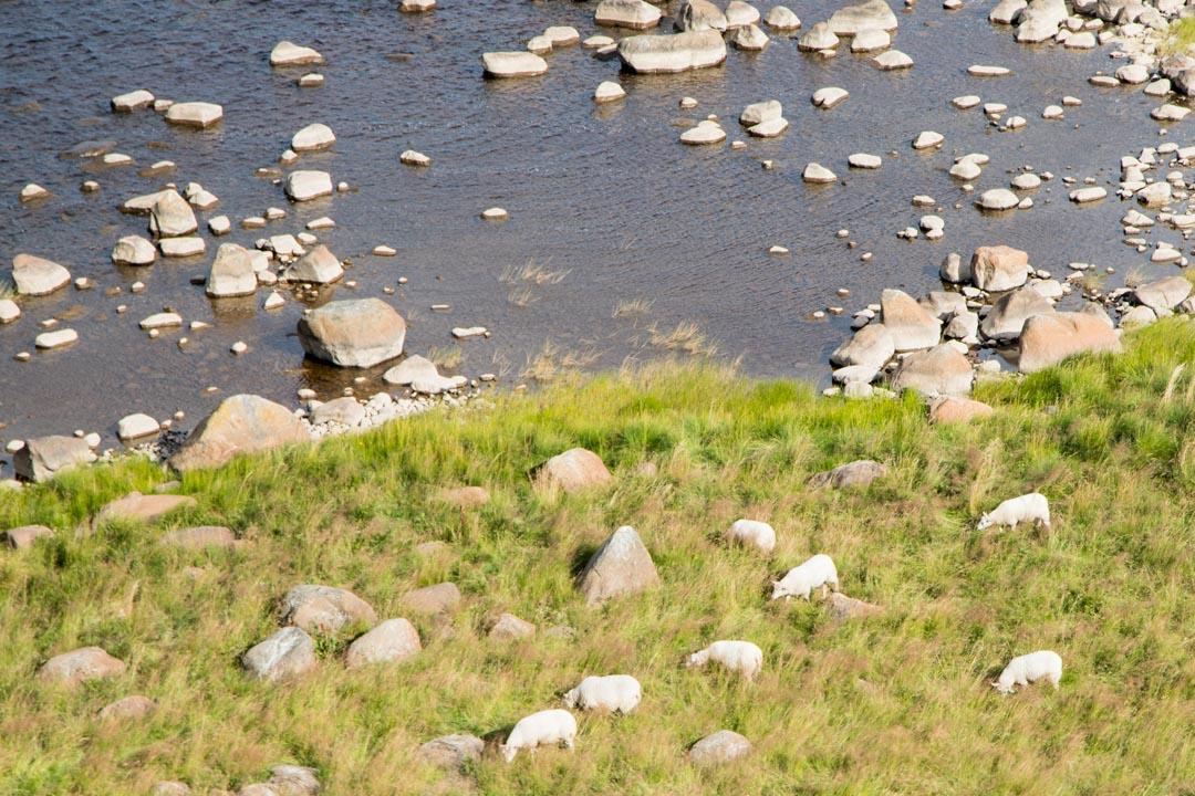 Perämeren kansallispuistossa Selkä-Sarven saaren maisemia ja lampaita näköalatornista kuvattuna
