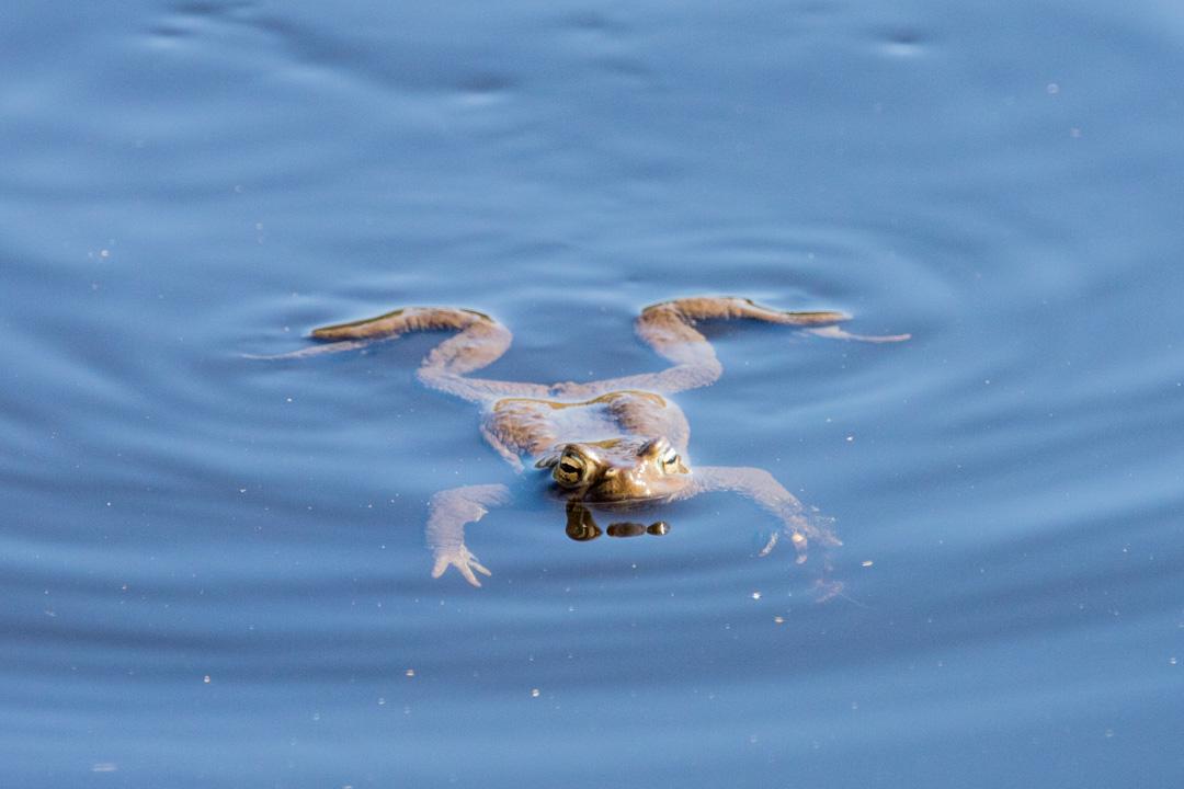 sammakko Salamajärven kansallispuistossa