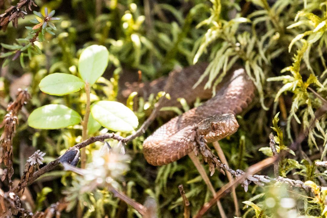 kyykäärme Salamajärven kansallispuistossa