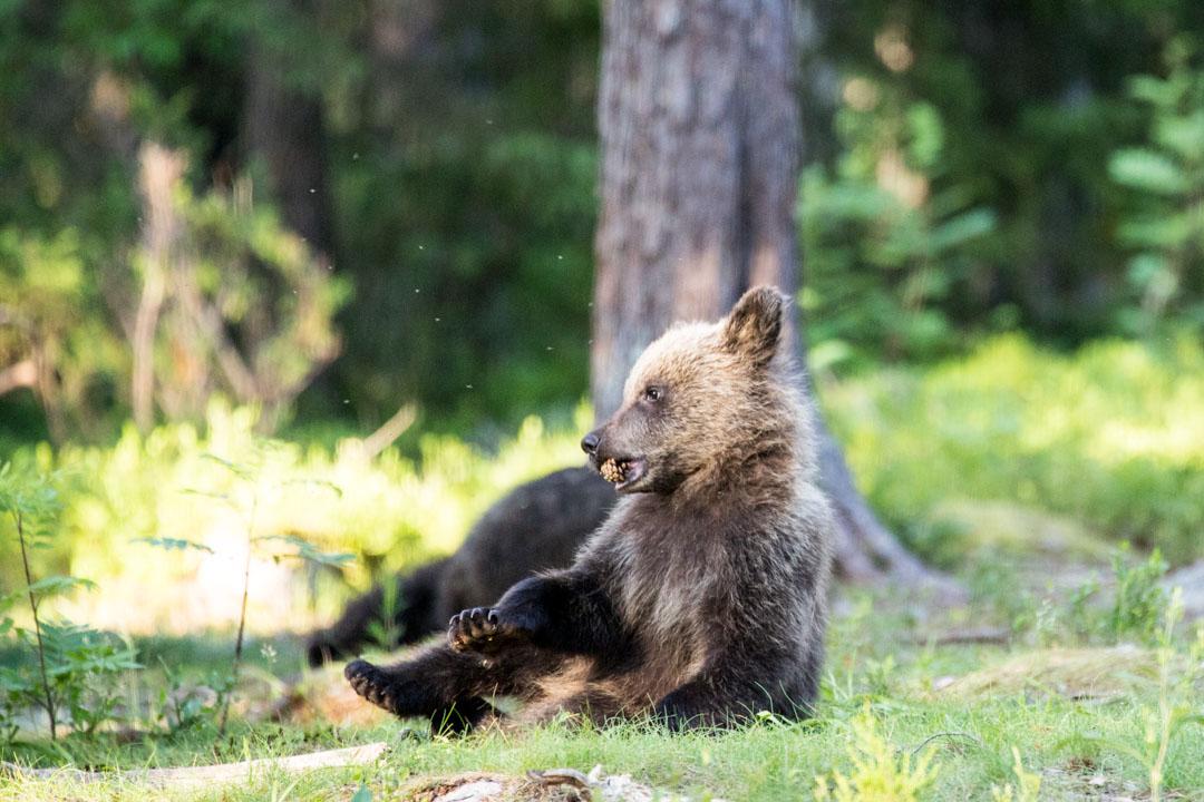 karhunpentu kuvattuna Martinselkosen piilokojusta