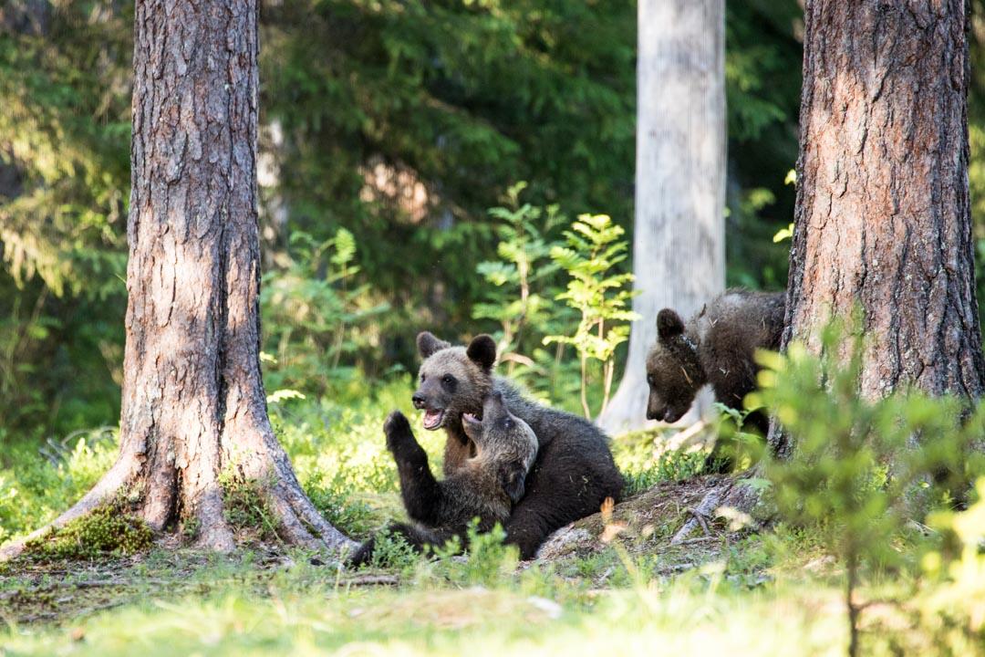 karhunpentuja kuvattuna Martinselkosen piilokojusta