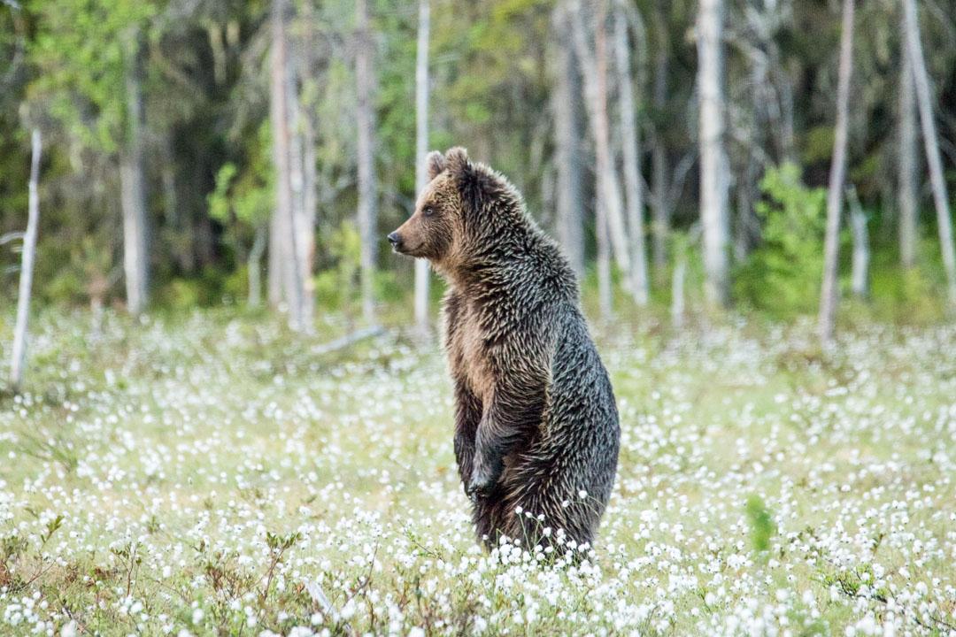 karhu suolla kuvattuna Martinselkosen piilokojusta