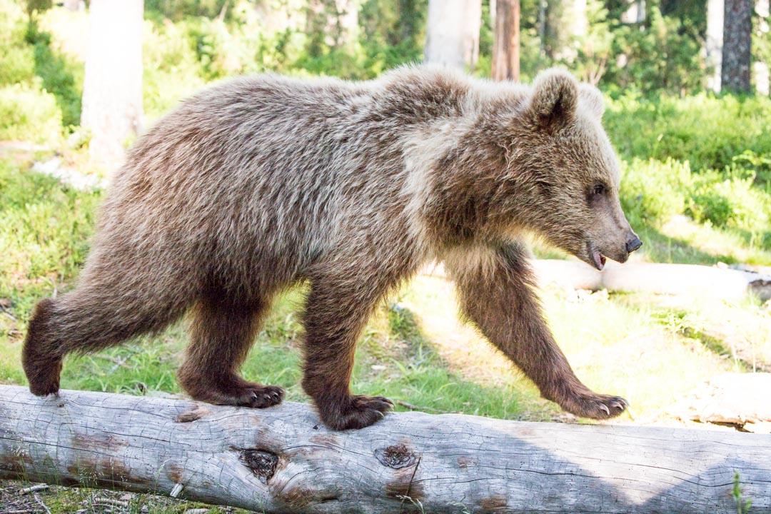 karhu valokuvattuna Martinselkosen piilokojusta