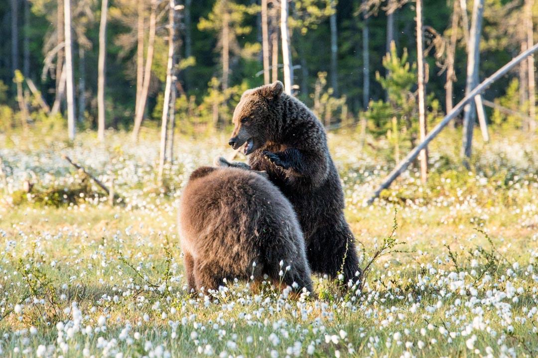 karhuja suolla kuvattuna Martinselkosen piilokojusta