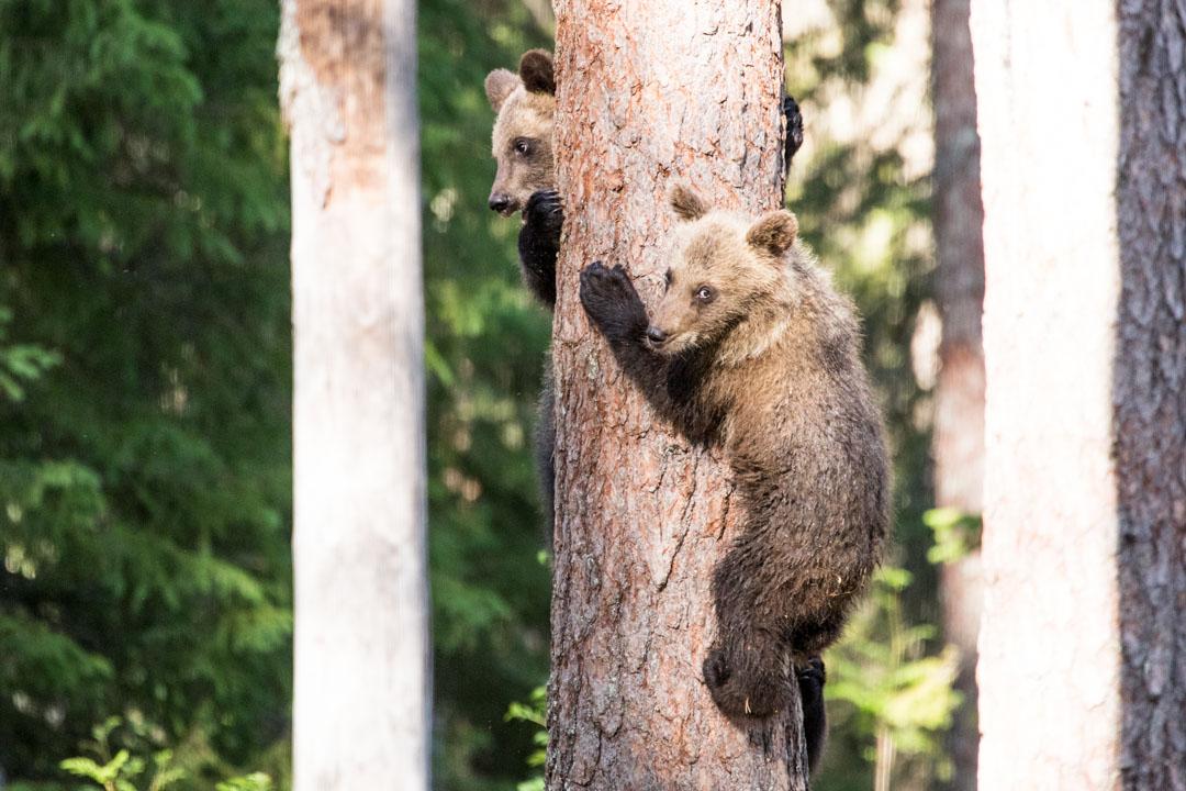 karhunpentuja puussa kuvattuna Martinselkosen piilokojusta