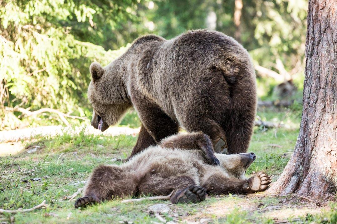 karhuja valokuvattuna Martinselkosen piilokojusta