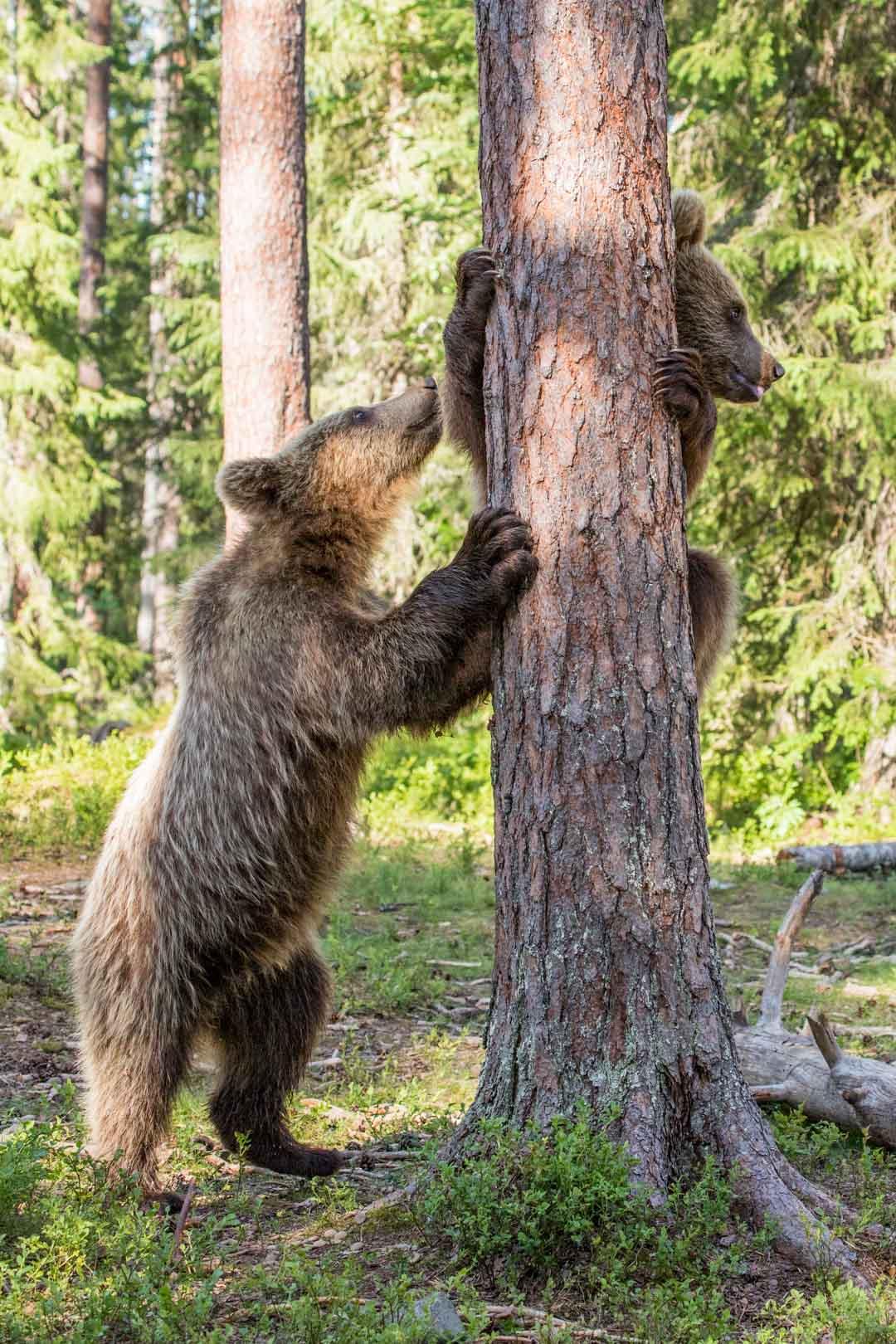 karhunpentu puussa kuvattuna Martinselkosen piilokojusta