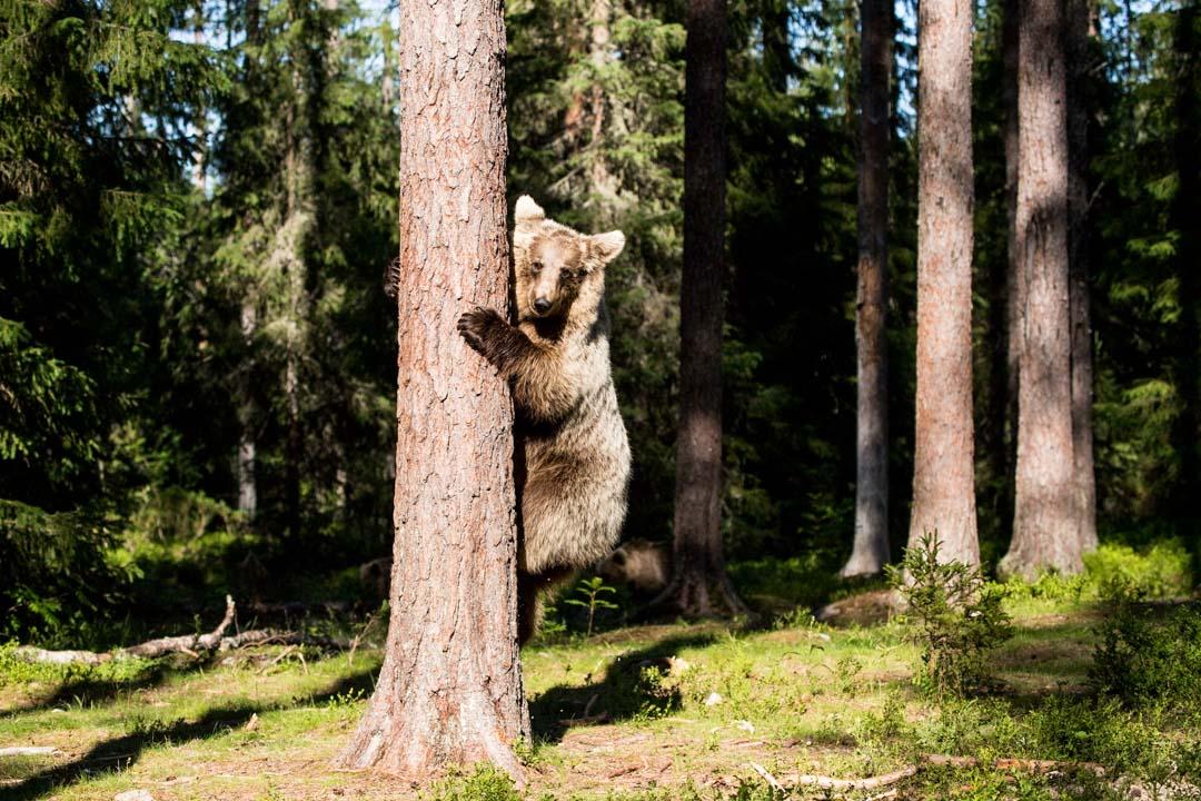 karhu puussa kuvattuna Martinselkosen piilokojusta