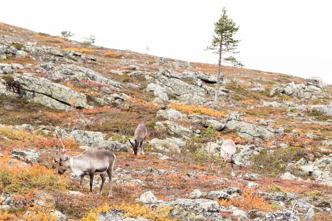 poroja Urho Kekkosen kansallispuistossa