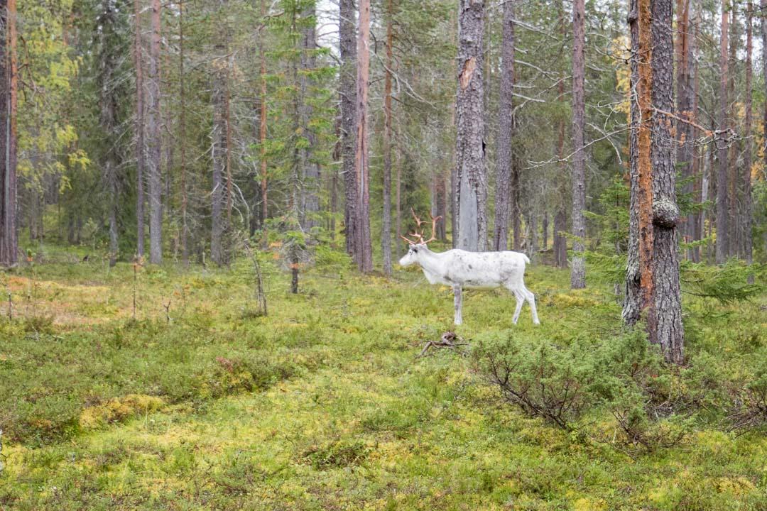 poro Kukastunturin kierroksella Pallas-Yllästunturin kansallispuistossa
