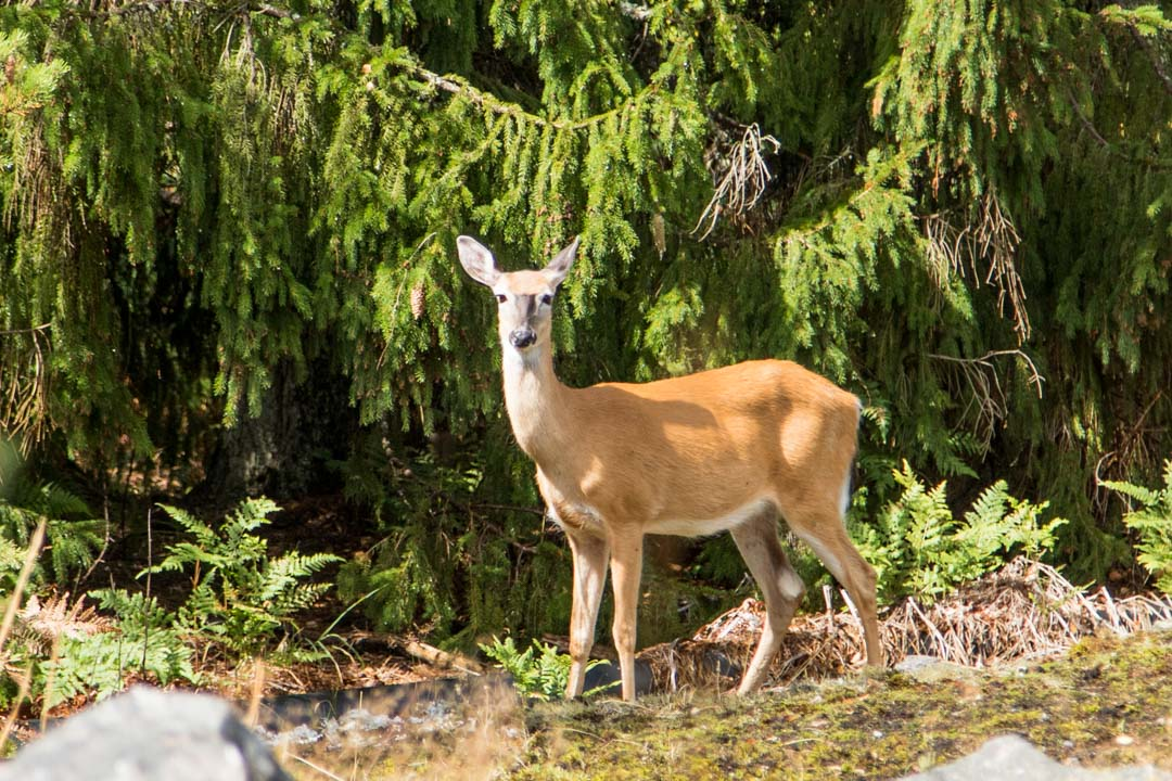 valkohäntäpeura Jussarössä Tammisaaren kansallispuistossa